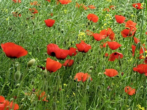 Bright red poppies were everywhere