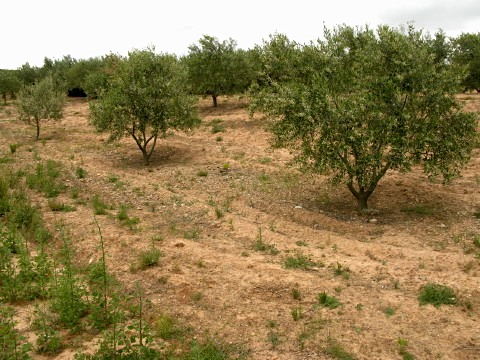 Olive grove before the rain started