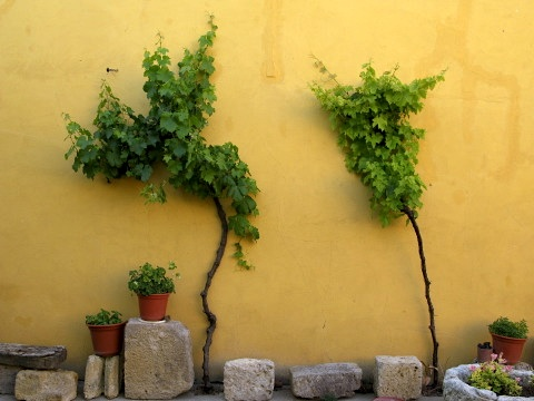 Vines on the wall of the albergue