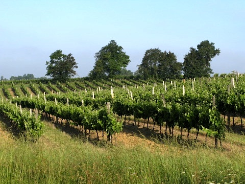 We walked through some of the vineyards of the Gascogne region