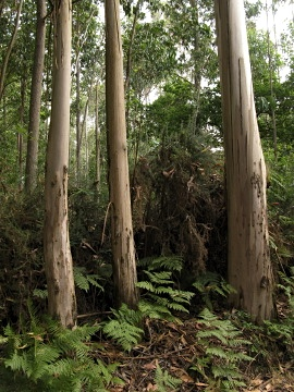Eucalyptus trees near Pedruso