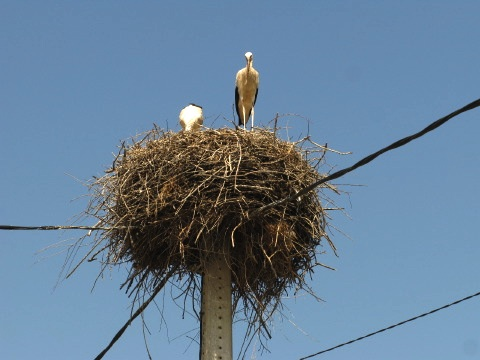 Stork nest in Camponaraya