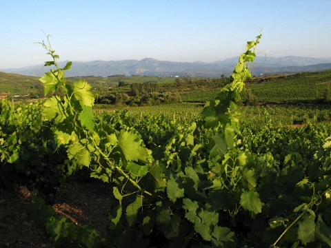 The vineyards of Bierzo near Villafranca